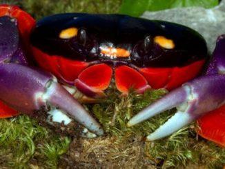 A Halloween Moon Crab