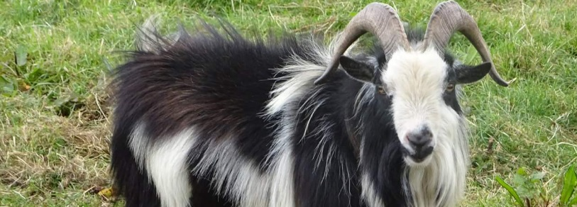 Miniature Goats A Big Pet That Stays Small Forever