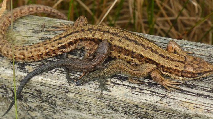 Mother lizard