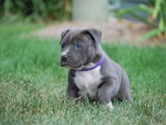 Blue-Nose-Pitbull-Puppy