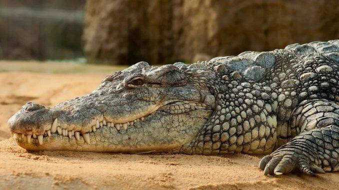 Crocodile relaxing