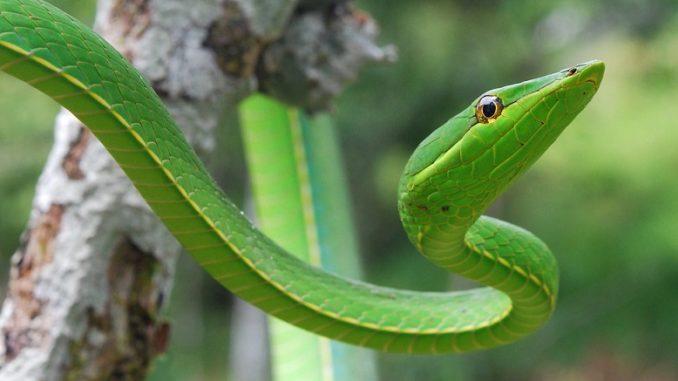 New vine snake