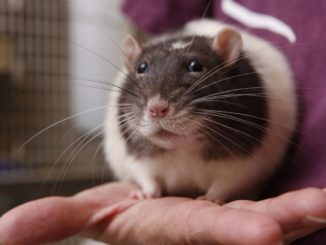 Pet rat at home