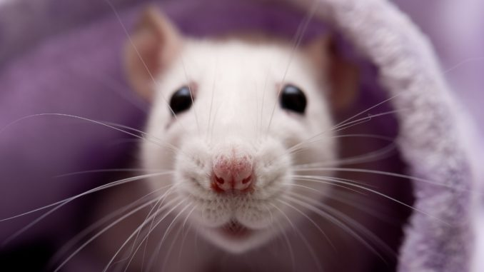 All there is to know to get a pet rat