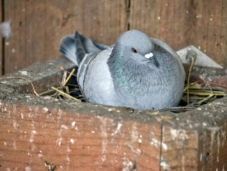 Explanations on the feral pigeons' nests